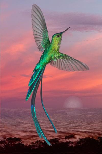 LONG TAILED SYLPH HUMMINGBIRD.jpg